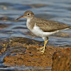 Spotted Sandpiper<br /> North-side of the ferry landing