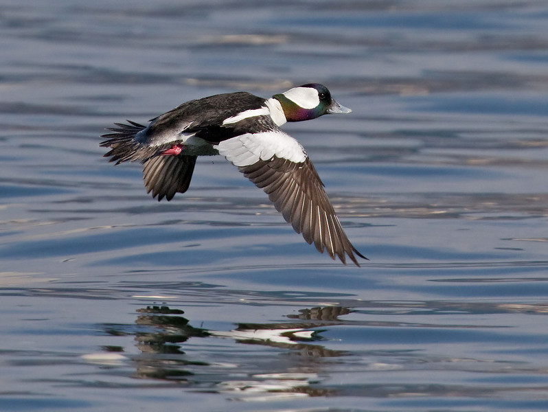 Bufflehead, male<br /> from Bayview Park, 1st St & I Ave.
