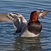 Redhead Duck, male
