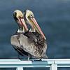 Brown Pelicans<br /> Glorietta Bay