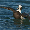 Male Long-Tailed Duck (Oldsquaw)<br /> Behind the Marriott Hotel