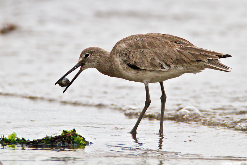 Willet with a snail
