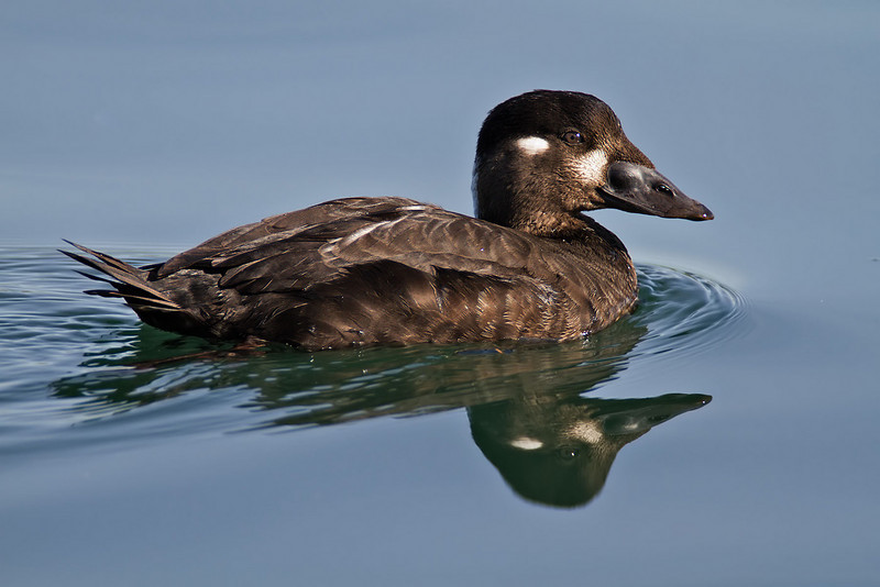 Surf Scoter hen<br /> Glorietta Bay