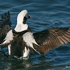 Male Long-Tailed Duck (Oldsquaw)<br /> @ Marriott Hotel