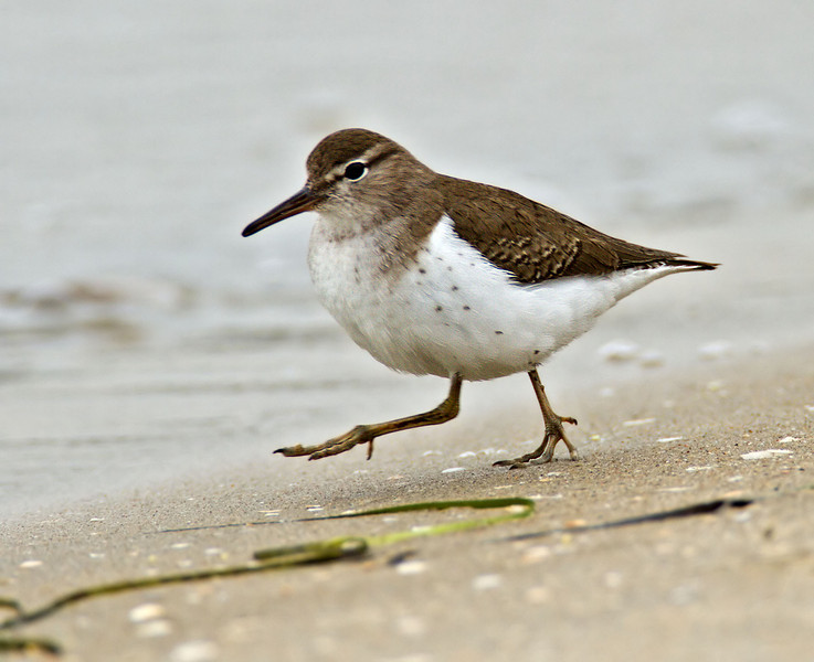 Spotted Sandpiper<br /> Glorietta Bay