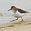 Spotted Sandpiper<br /> Glorietta Bay