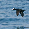 Male Surf Scoter<br /> Behind the Marriott Hotel