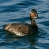 Eared Grebe in breeding plumage<br /> Behind the Marriott Hotel