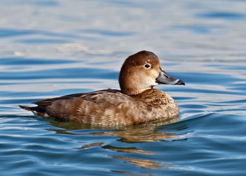 Redhead Duck, female