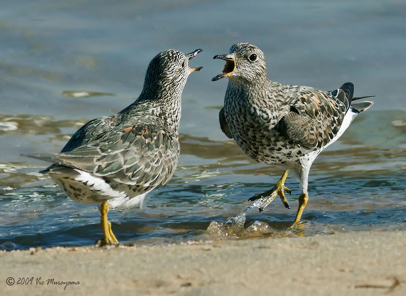 Arguing Surfbirds <br /> Between the ferry landing and the public dock.