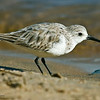 Sanderling<br /> Between the ferry landing and the public dock.