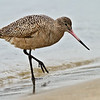 Marbled Godwit<br /> Glorietta Bay