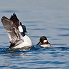 Bufflehead Duck, male & female