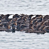 Brandt's Cormorants, there approximately 200 in this group.