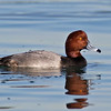 Redhead drake<br /> Glorietta Bay