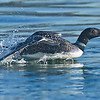 Common Loon, being chased by another loon.