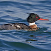 Red-breasted Merganser, male<br /> from Bayview Park, 1st St & I Ave.