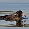 Surf Scoter juvenile drake<br /> Glorietta Bay