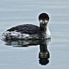 Eared Grebe<br /> Glorietta Bay