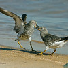 Fighting Surfbirds <br /> Between the ferry landing and the public dock.