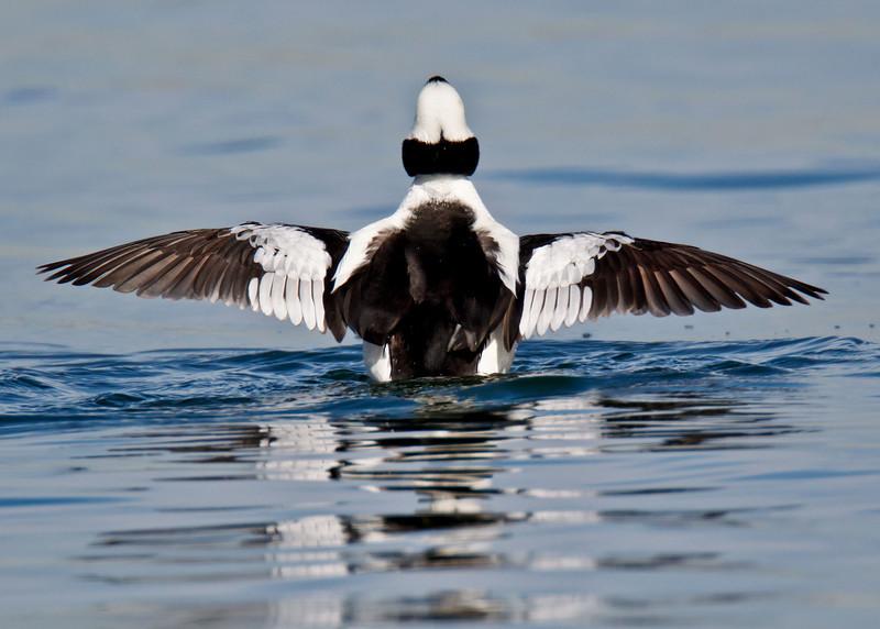 Bufflehead Duck, male