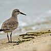 Red Knot<br /> Glorietta Bay