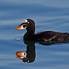 Surf Scoter, male