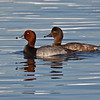 Redhead Duck, male & female