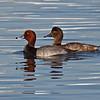 Redhead Duck, male & female