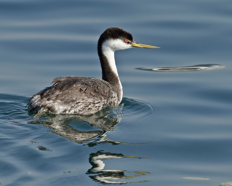 Western Grebe<br /> South-side of the ferry landing