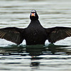 Surf Scoter drake<br /> Glorietta Bay