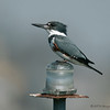 Female Belted Kingfisher<br /> Behind the Marriott Hotel