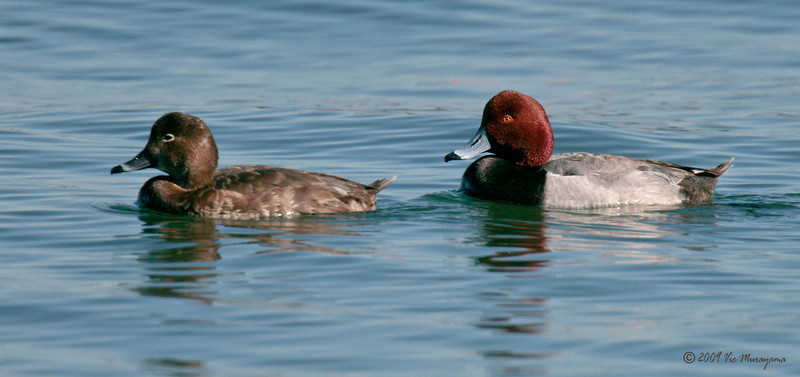 Female and male Redheads<br /> North-side of the ferry landing