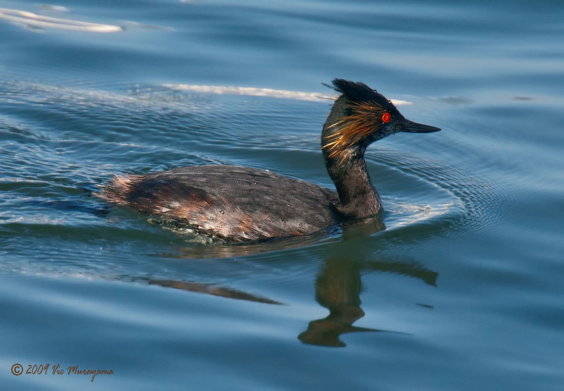 Eared Grebe<br /> Behind the Marriott Hotel