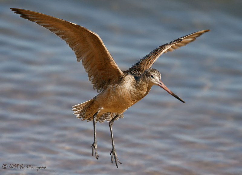 Marbled Godwit<br /> Between the ferry landing and public dock.