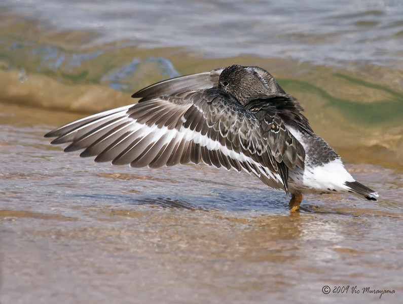 Surfbird<br /> Between ferry landing and public dock