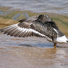 Surfbird<br /> Between ferry landing and public dock