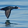 Surf Scoter, male in flight