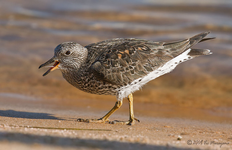 Surfbird<br /> Between the ferry landing and public dock.
