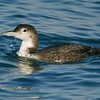 Common Loon<br /> Behind the Marriott Hotel