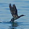 Brandt's Cormorant, take-off