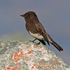 Black Phoebe<br /> from Bayview Park, 1st St & I Ave.