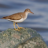 Spotted Sandpiper<br /> from Bayview Park, 1st St & I Ave.