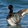 Lesser Scaup drake<br /> Glorietta Bay