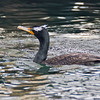 Double-crested Cormoraant