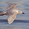 Glaucous-winged Gull, juvenile