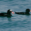 Adult and juvenile male Surf Scoters.<br /> North-side of the ferry landing