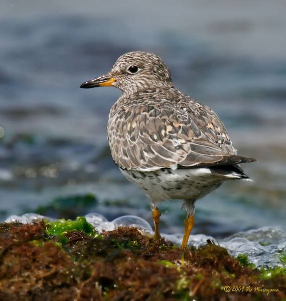 Surfbird<br /> Between the two restaurants south of the ferry landing.