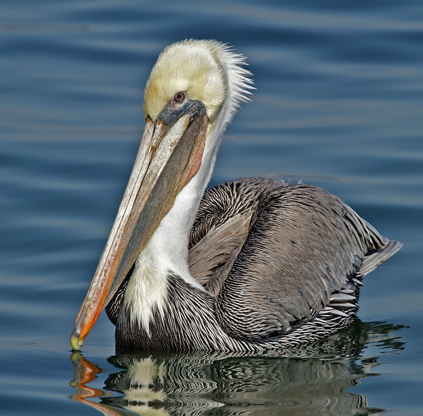 Brown Pelican<br /> South-side of the ferry landing