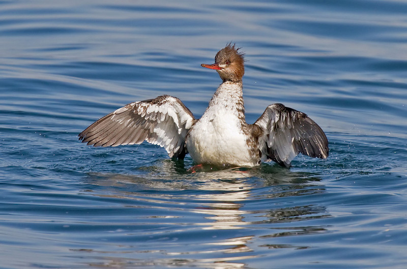 Red-breasted Merganser, female<br /> from Bayview Park, 1st St & I Ave.